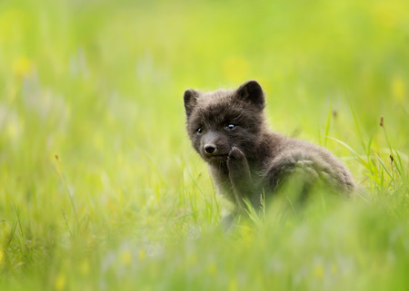 Close up of a blue morph arctic fox in a meadow, Iceland.