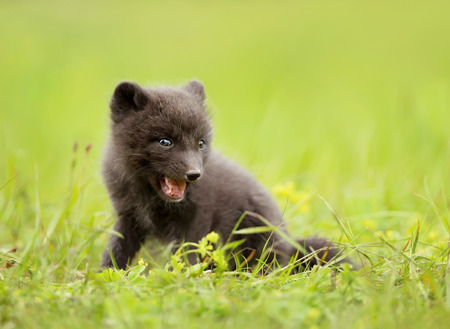 Close up of a blue morph arctic fox cub playing on a grass, Iceland. Stock Photo