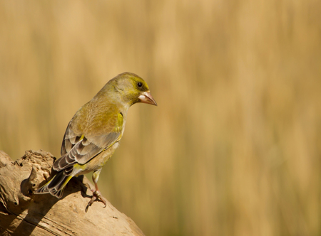 Close up of European greenfinch perched on a tree, UK.