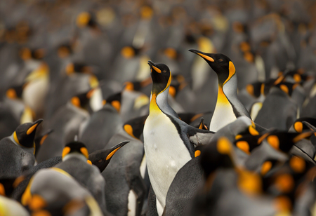 King penguin (Aptenodytes Patagonicus) colony in the Falkland islands.