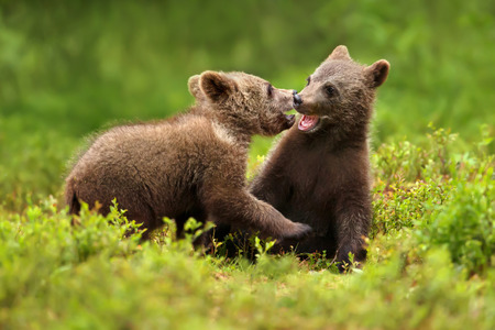 Two brown bear cubs play fighting in the forest in summer, Finland. Stock Photo