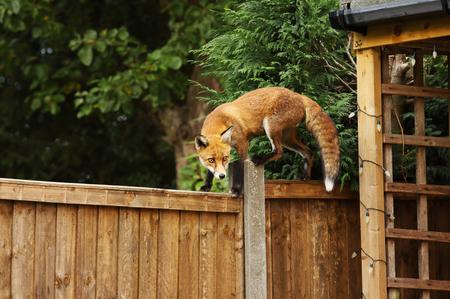 Zamknij się z Red fox chodzenia na płocie w ogrodzie tylnym, w Anglii, Wielkiej Brytanii.