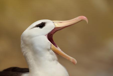 Close up of a Black-browed Albatross calling, Falkland islands.