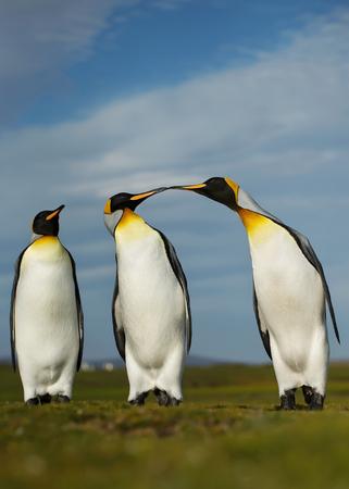 Three King penguins displaying aggressive behavior during mating season, Falkland islands. Stock Photo