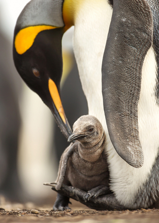 Close up of King penguin chick sitting on the feet of its parent, Falkland islands. Stock Photo