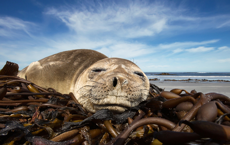 Close up of a young Southern Elephant seal sleeping on a summer day on a sandy beach, Falkland islands.