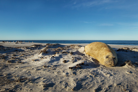 Close up of a Southern Elephant seal sleeping on a sandy beach in Falkland islands. Stock Photo