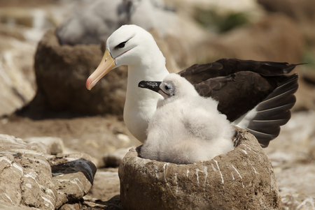 Close up of a Black-browed Albatross with a chick sitting in the nest, Falkland islands.