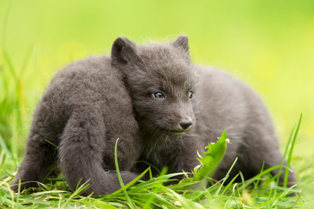Arctic fox Vulpes lagopus cubs playing with each other, summer in Iceland. Stock Photo