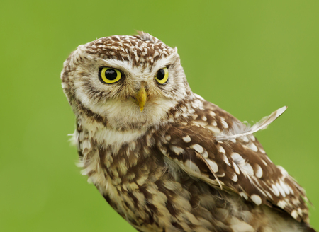 Close up of a Little owl Athene noctua against green background, UK.