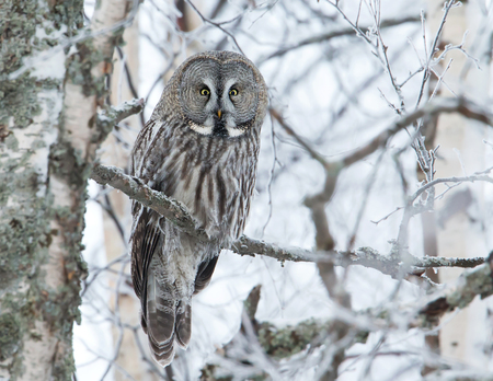 Great Grey Owl (Strix nebulosa) perched in a tree in winter, Finland. Stok Fotoğraf