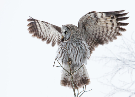 Great Grey Owl (Strix nebulosa) perched in a tree with spreaded wings in winter, Finland.
