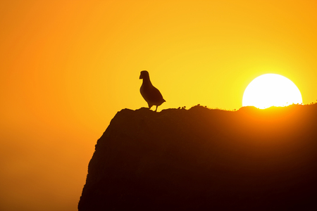 Atlantic puffin (fratercula arctica) enjoys sunset in Fair Isle, Shetland. Stock Photo