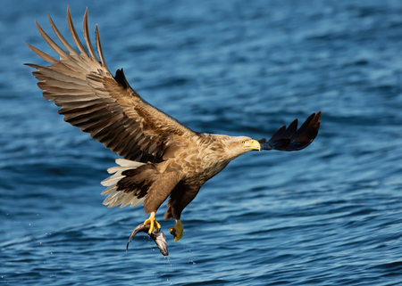 White-tailed sea Eagle in flight with a fish in the claws, Norway.