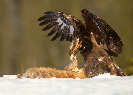 Golden Eagle feeding on a Red Fox high in the mountains in Norway. Stock Photo