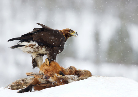 Golden Eagle (Aquila chrysaetos) feeding on a Red Fox high in the mountains, Norway.