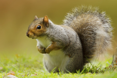 Close up of a cute and curious grey squirrel in urban park. Autumn in UK.