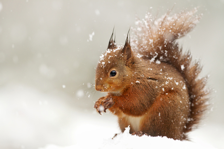 Cute Red squirrel in the falling snow, UK.
