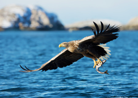 White-tailed sea Eagle (Haliaeetus albicilla), catching a fish, Norway. 免版税图像