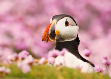 Close up of Atlantic puffin standing in the field of thrift, Scotland, UK. Stock Photo