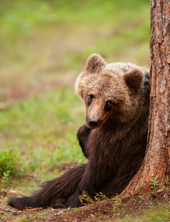 Eurasian brown bear leaning against a tree, summer in Finland.