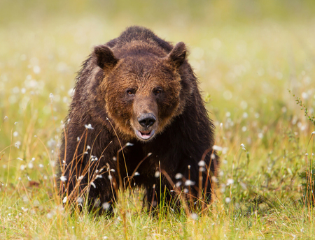 Close up of a Male brown bear in swamp, Finland. Stock Photo