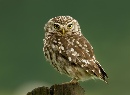 Close-up of a Little owl perching on a log against green background, UK. 版權商用圖片