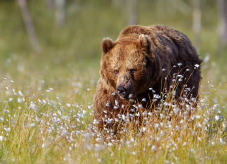 Close up of a male brown bear in swamp, Finland.