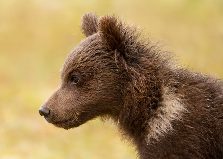 Close up of a cute Eurasian brown bear cub sitting in the boreal forest, Finland.