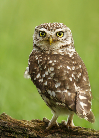 Close-up of a Little owl perching on a log against green background, UK. Stockfoto