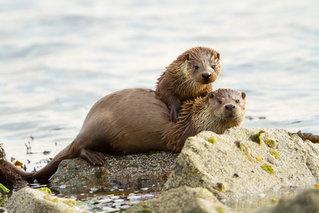 European otters (Lutra lutra), mother and cub on shoreline, Shetland, Scotland.
