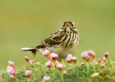 Close up of a Meadow pipit (Anthus pratensis) in a meadow of pink thrift, Shetland islands, Scotland.