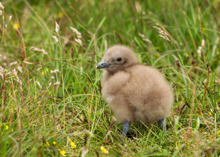 Great Skua chick in the meadow, Scotland, UK.