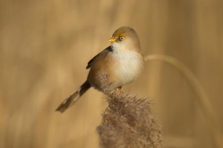 Bearded tit (Panurus biarmicus) female feeding on seeds in reed bed, UK. Stock Photo