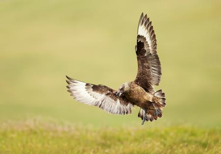 Great skua (Stercorarius skua) Bonxie landing, Noss, Shetland, UK.