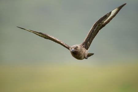 Great skua (Stercorarius skua) in flight, Noss, Shetland islands, UK. Stock Photo