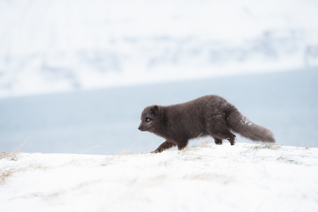 Close up of an Arctic fox running along the coastline in winter in Iceland.