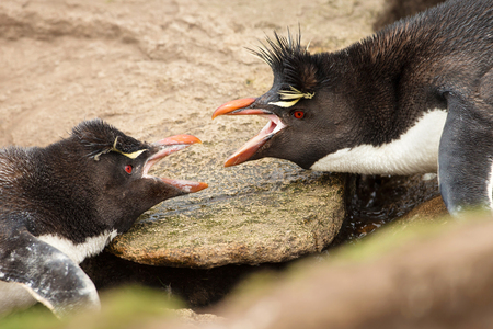 Close-up of two Southern Rockhopper penguins arguing between each other, Falkland islands. Фото со стока