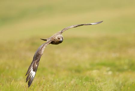 Great skua in flight, Shetland islands, UK.