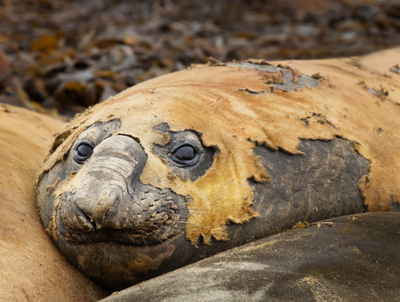 Close up of a Southern Elephant seal lying among other seals on a beach in Falkland islands.