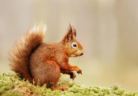 Isolated Eurasian red squirrel (Sciurus vulgaris) sitting on a mossy log.