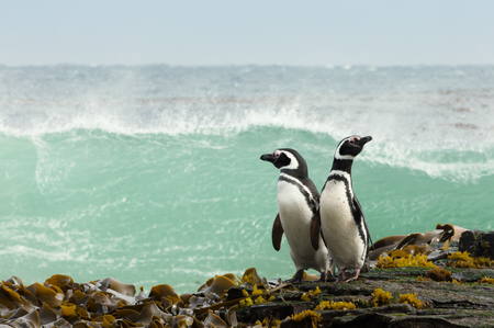 Two Magellanic penguins standing on a shore and watching stormy ocean in Falkland islands.