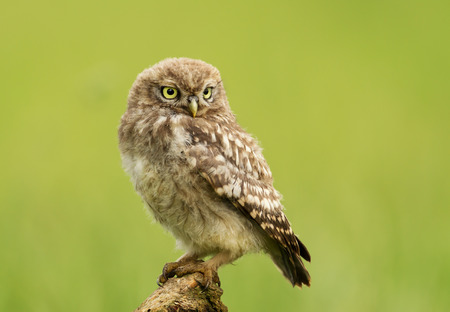 Close-up of a Juvenile Little owl perching on a post against green background, UK.