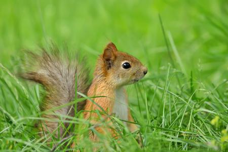 Close up of a Red squirrel (Sciurus Vulgaris) sitting in the grass.