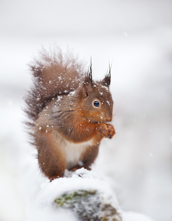 Cute red squirrel sitting in the snow covered with snowflakes. Winter in England. Animals in winter.