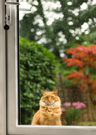 Close up of a cat waiting  longingly at the door on a rainy day, UK.
