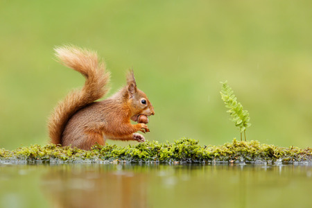 Close up of a red squirrel (Sciurus vulgaris) eating a nut on rainy day near water, UK