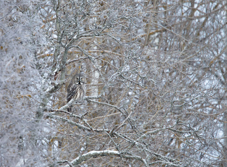 Great Grey Owl (Strix nebulosa) successfully camouflaged while perched in a tree in winter, Finland.