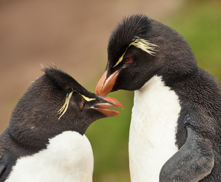 Close up of Rockhopper penguins preening each other, Falkland islands.