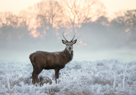 Junger Rotwildbock, der im gefrorenen Gras an einem frühen kalten Wintermorgen, England steht. Tiere im Winter.